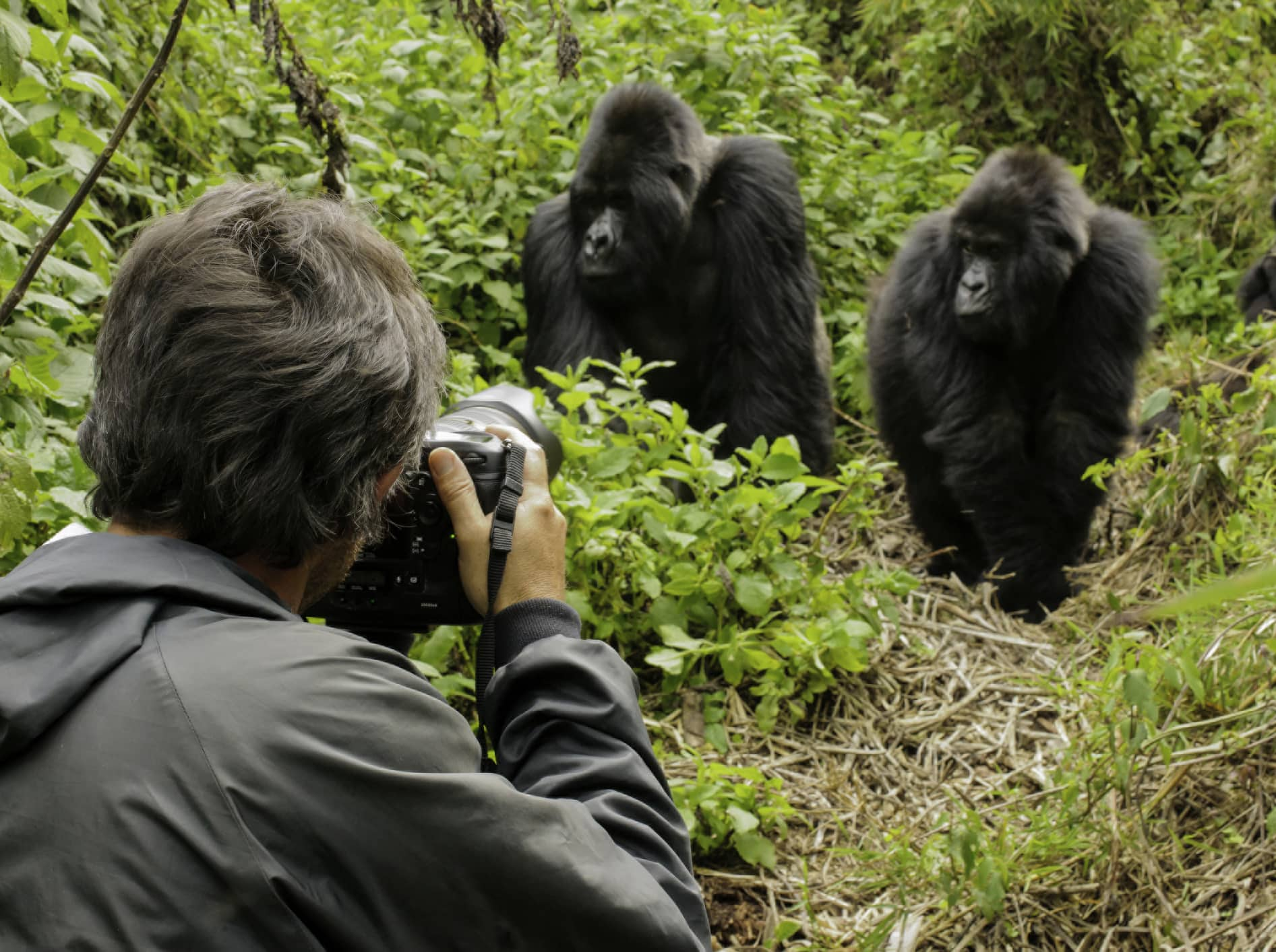 Come face-to-face with a family of mountain gorillas.