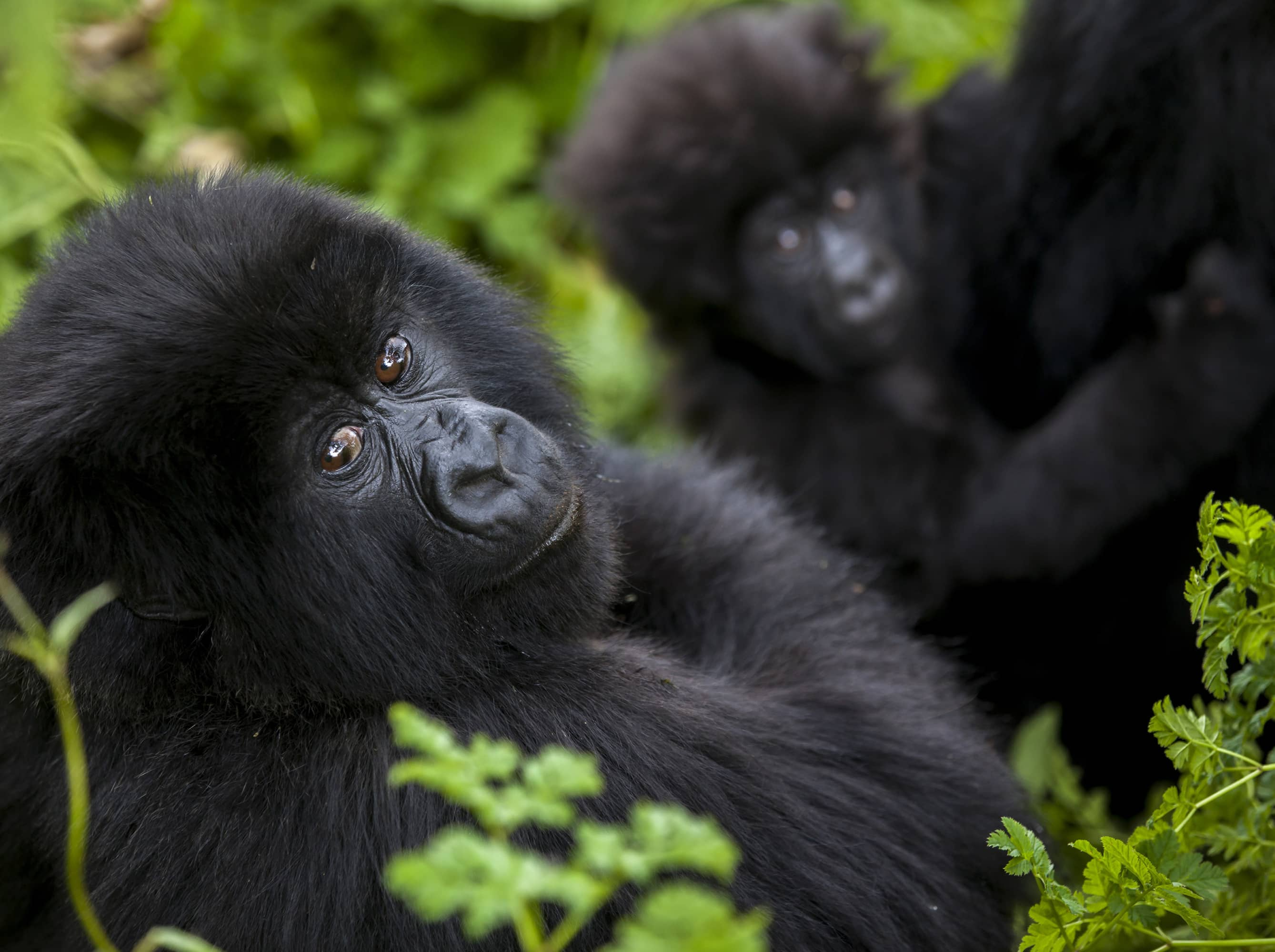 Encounter a family of rare mountain gorillas.