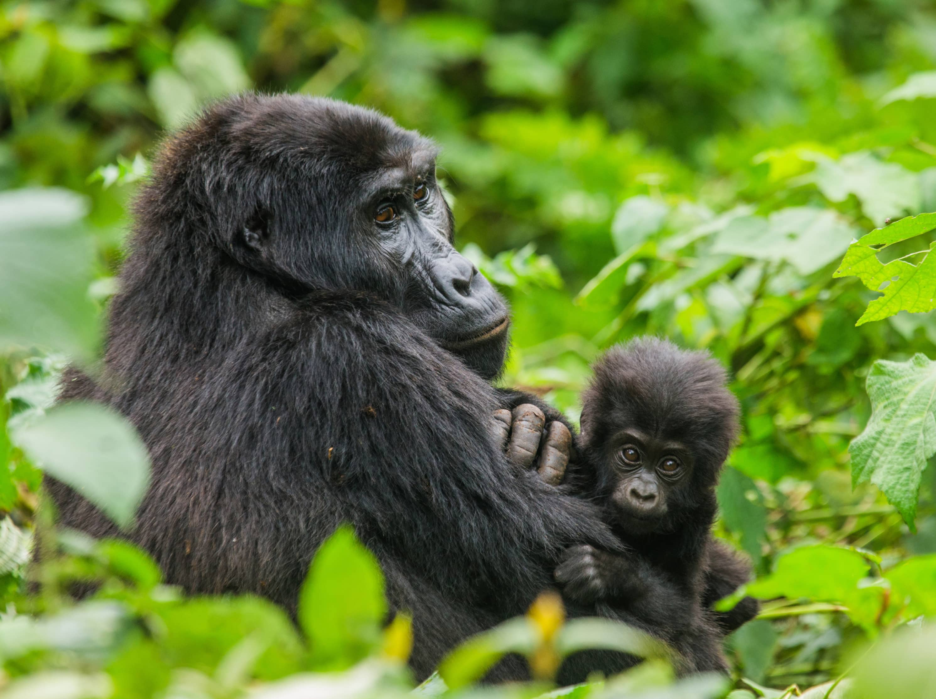 See a family of mountain gorillas up close in the wild.