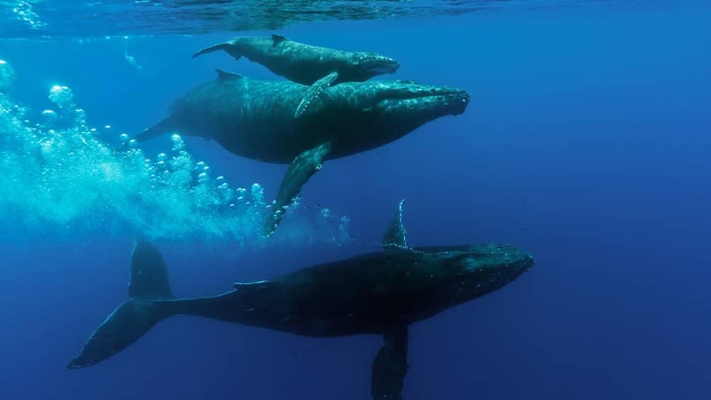 Humpback Whale Migration Qoute: Whale Season In Maui