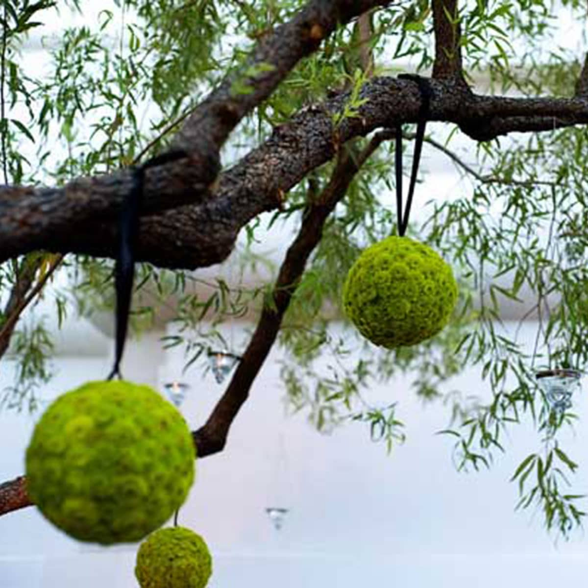 Balls Made Of Green Mums Are Strung From Branches
