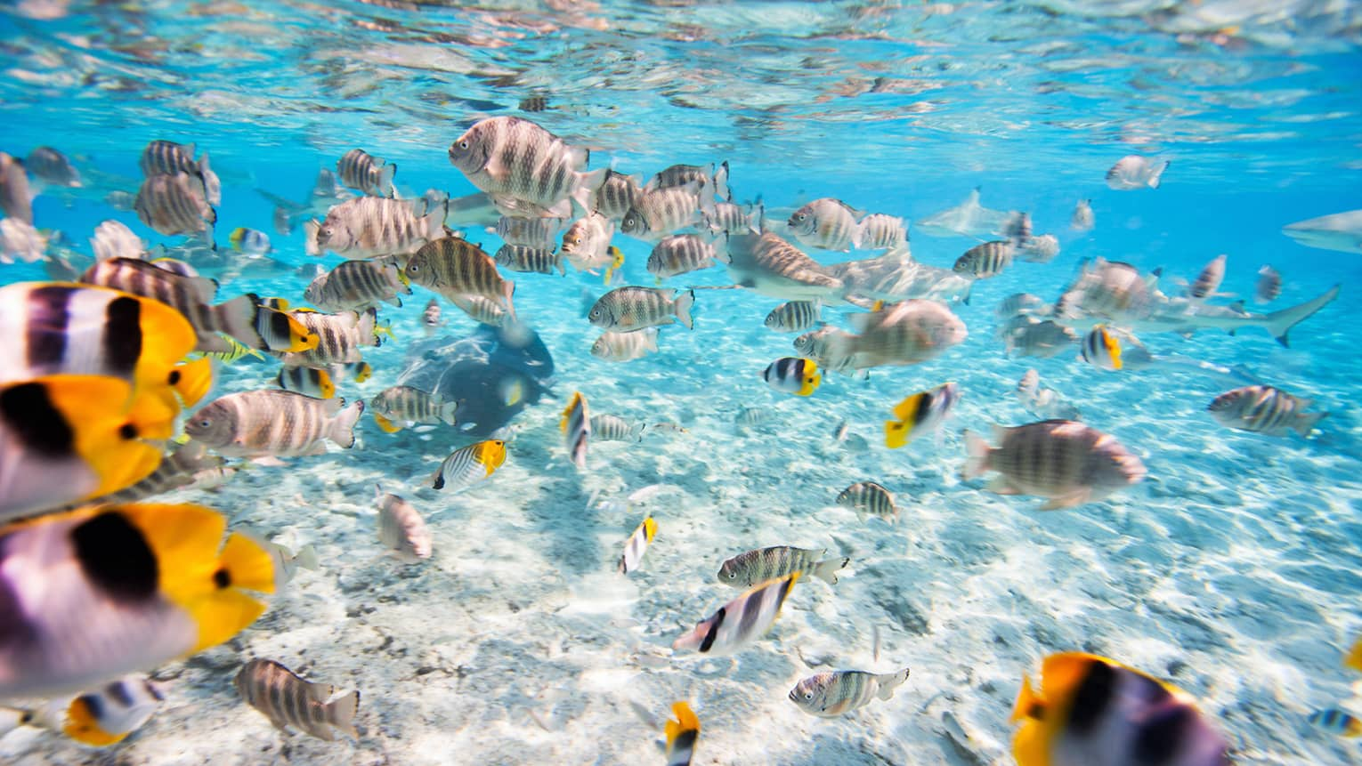 School of tropical yellow and white Butterfly fish swimming in lagoon