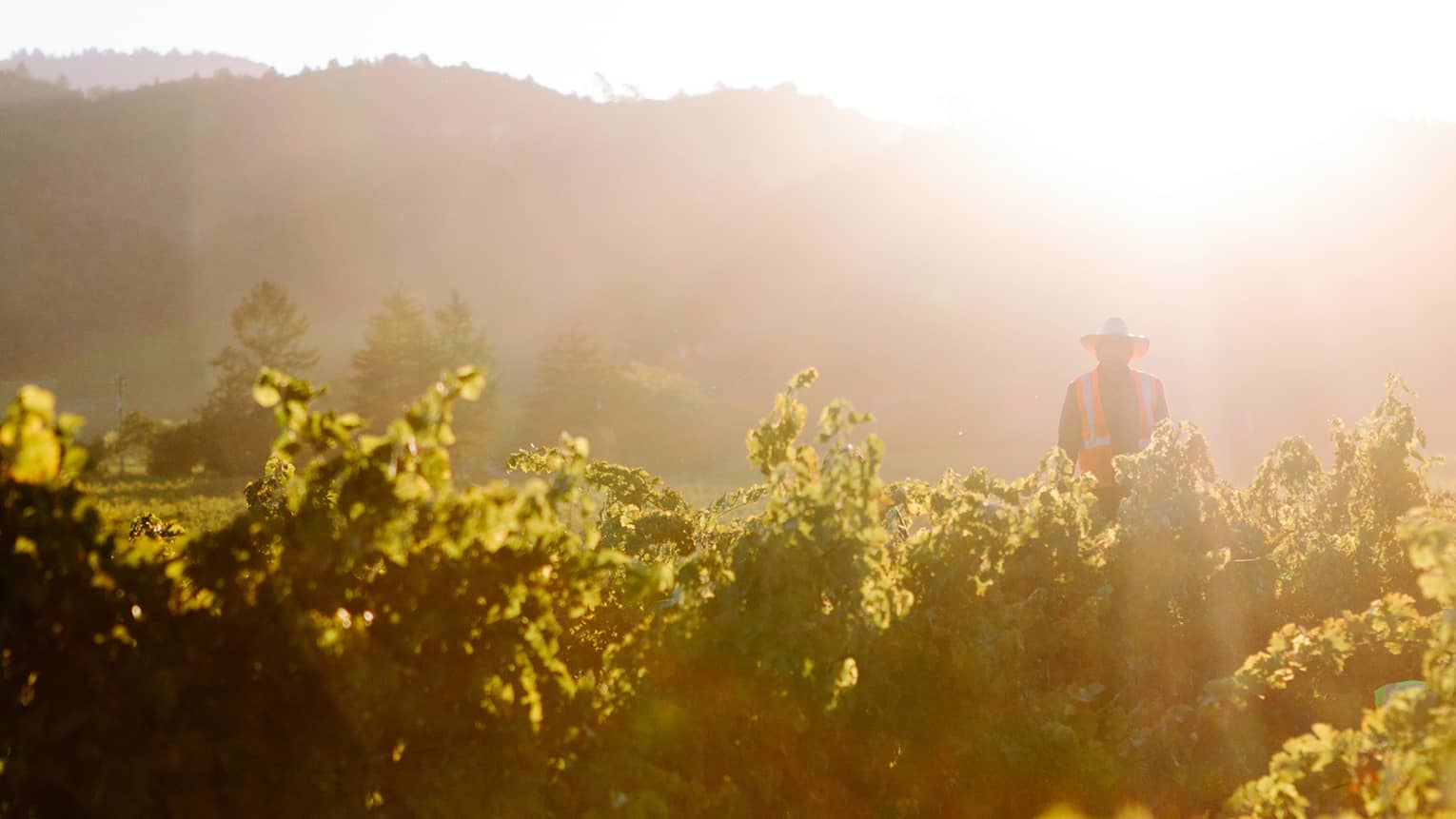 Man wearing hat, orange reflective vest stands in lush vineyard as sun streams down