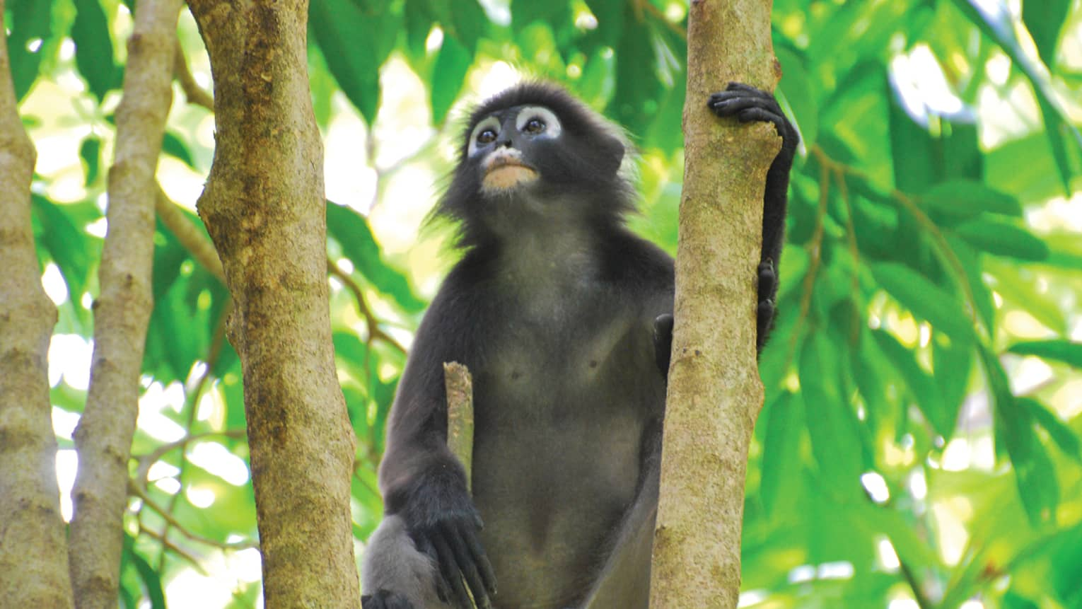 Small Black-and-white leaf monkey sits on branch in tree
