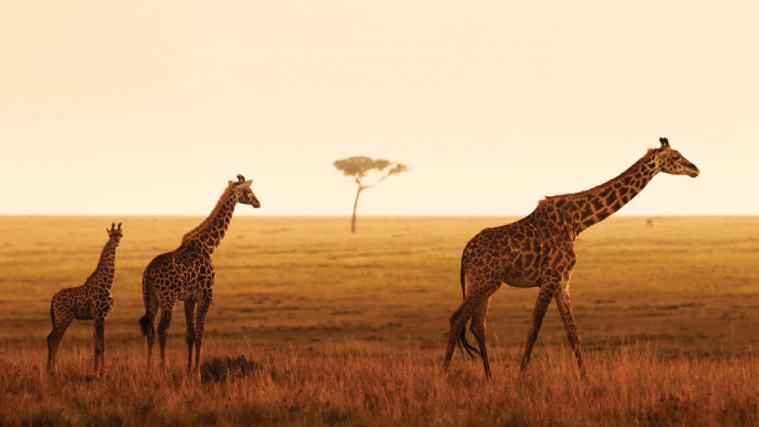 Giraffe family walks along grassy plain during orange sunset