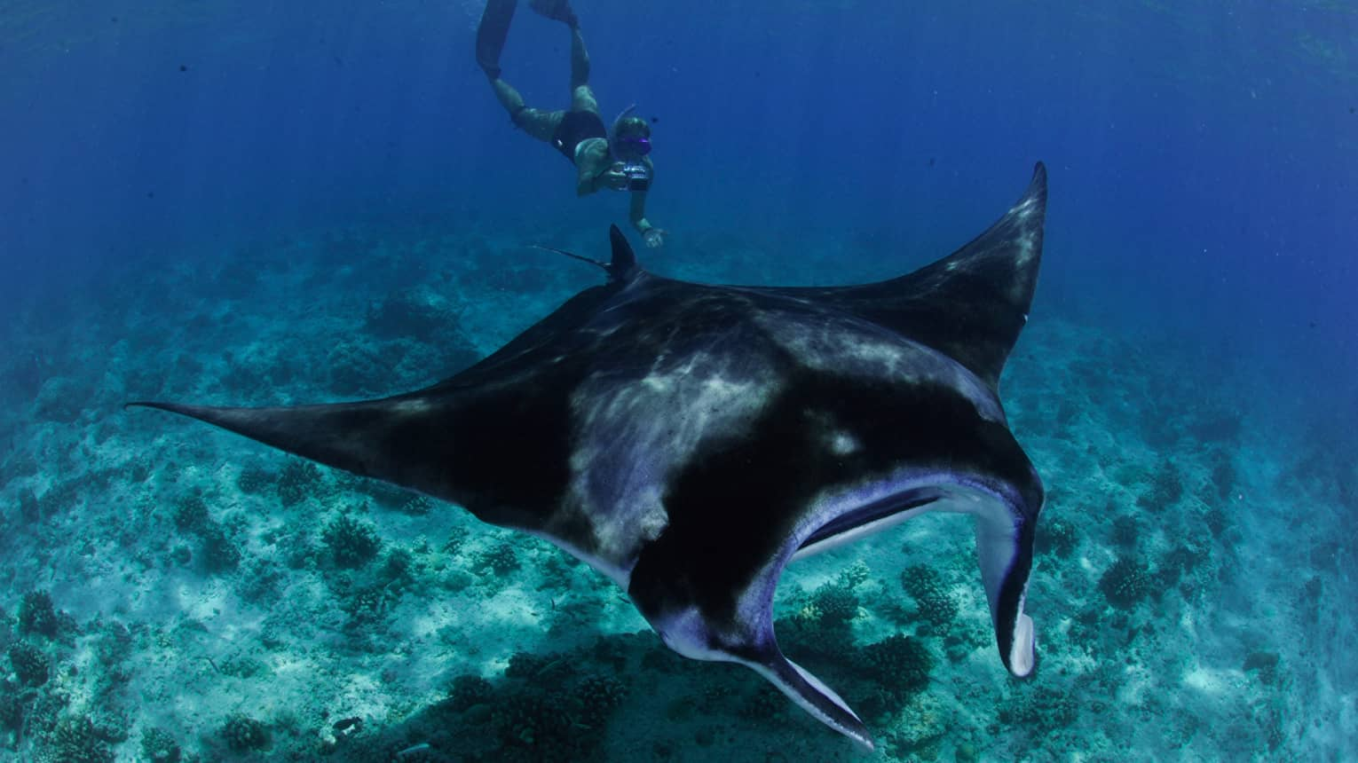 Snorkeller with underwater camera takes photo of large manta ray in lagoon