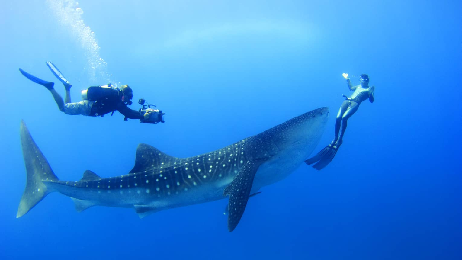 Two scuba divers swim around, film spotted whale shark underwater