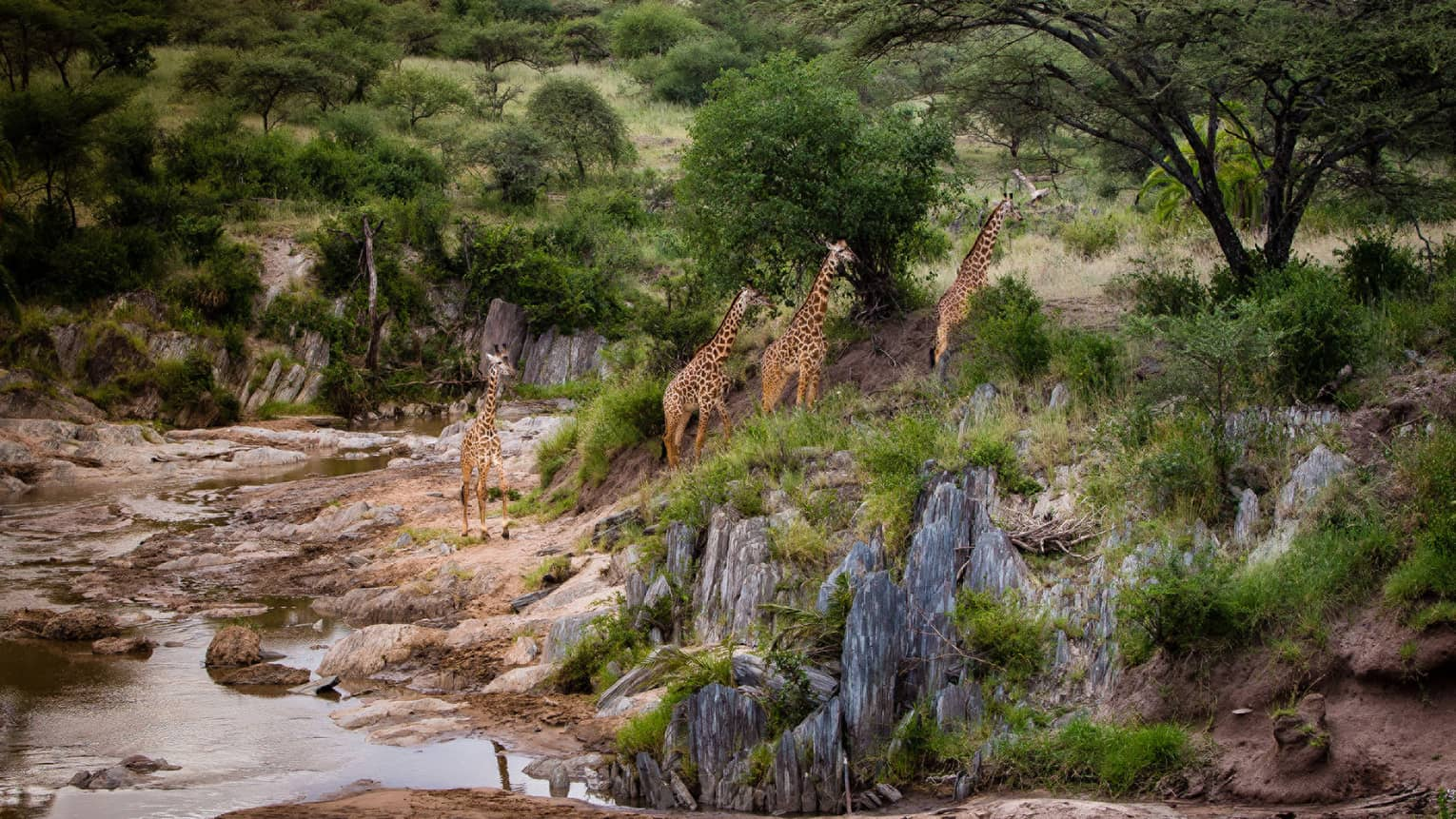 Four tall giraffes walking up rocks along riverbed