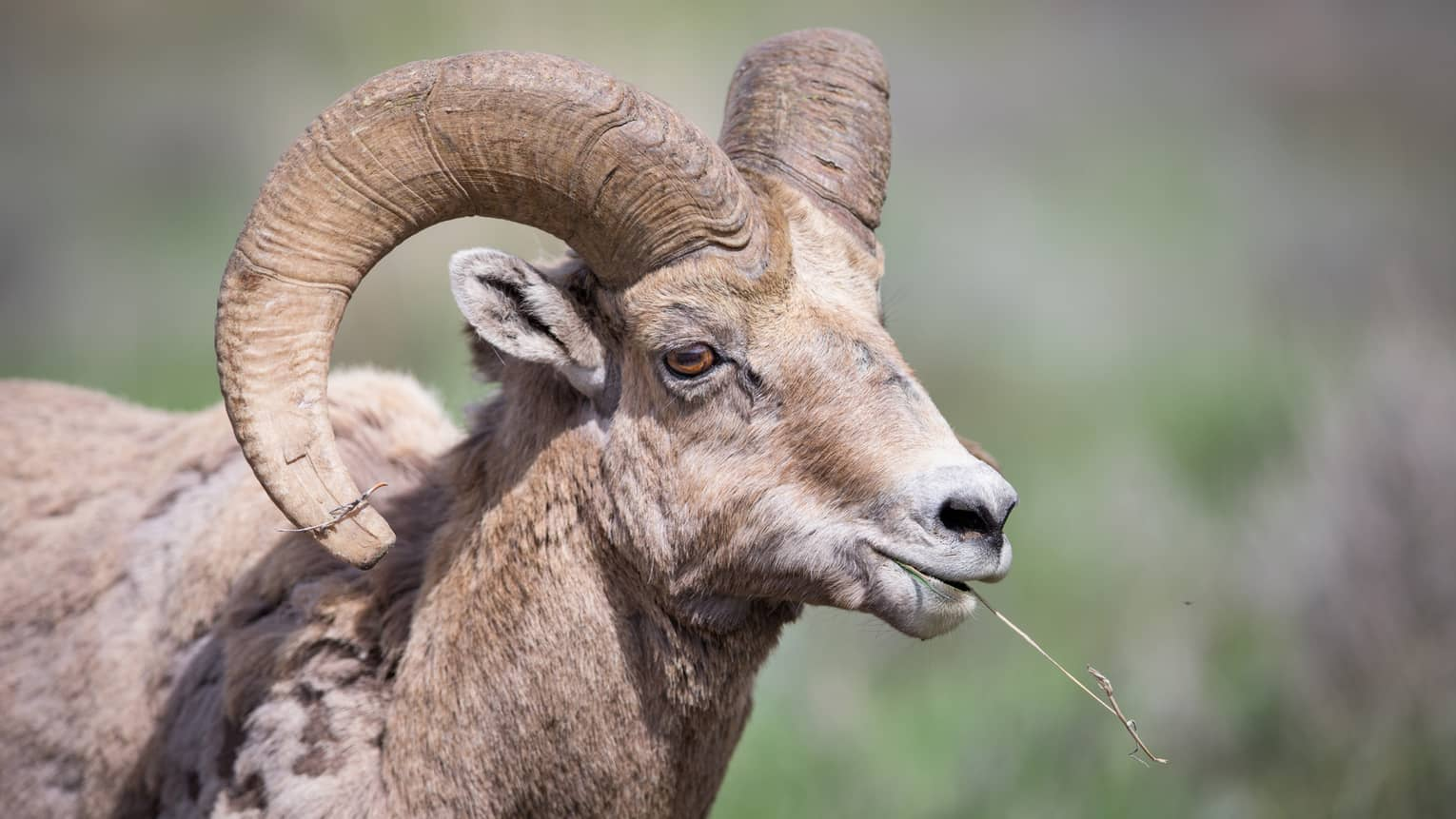 Close-up of mountain goat's head, large curved horns as it chews grass
