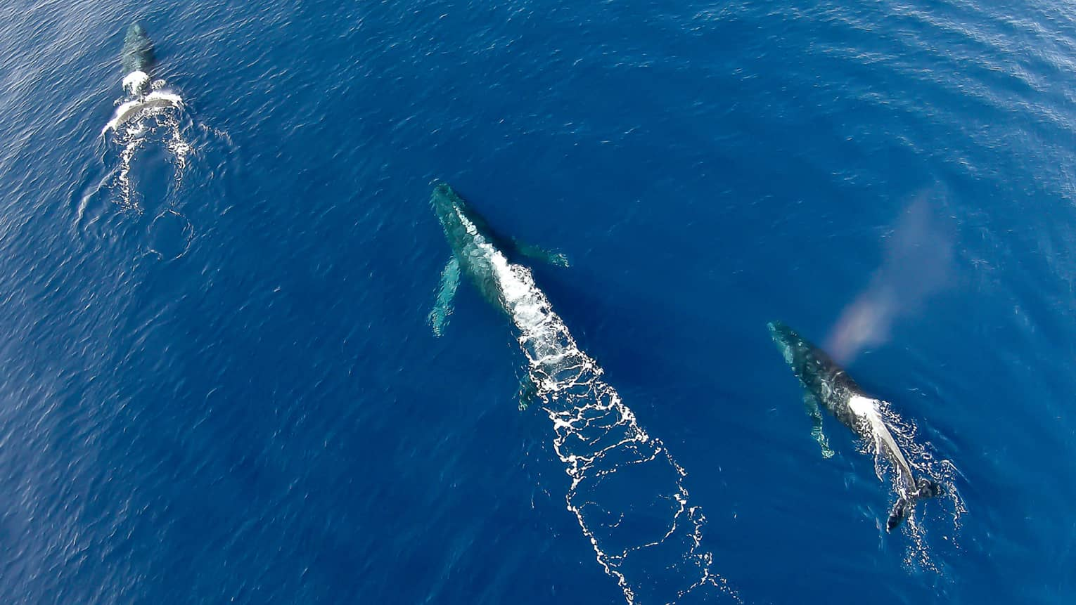 Aerial view of three whales swimming in ocean