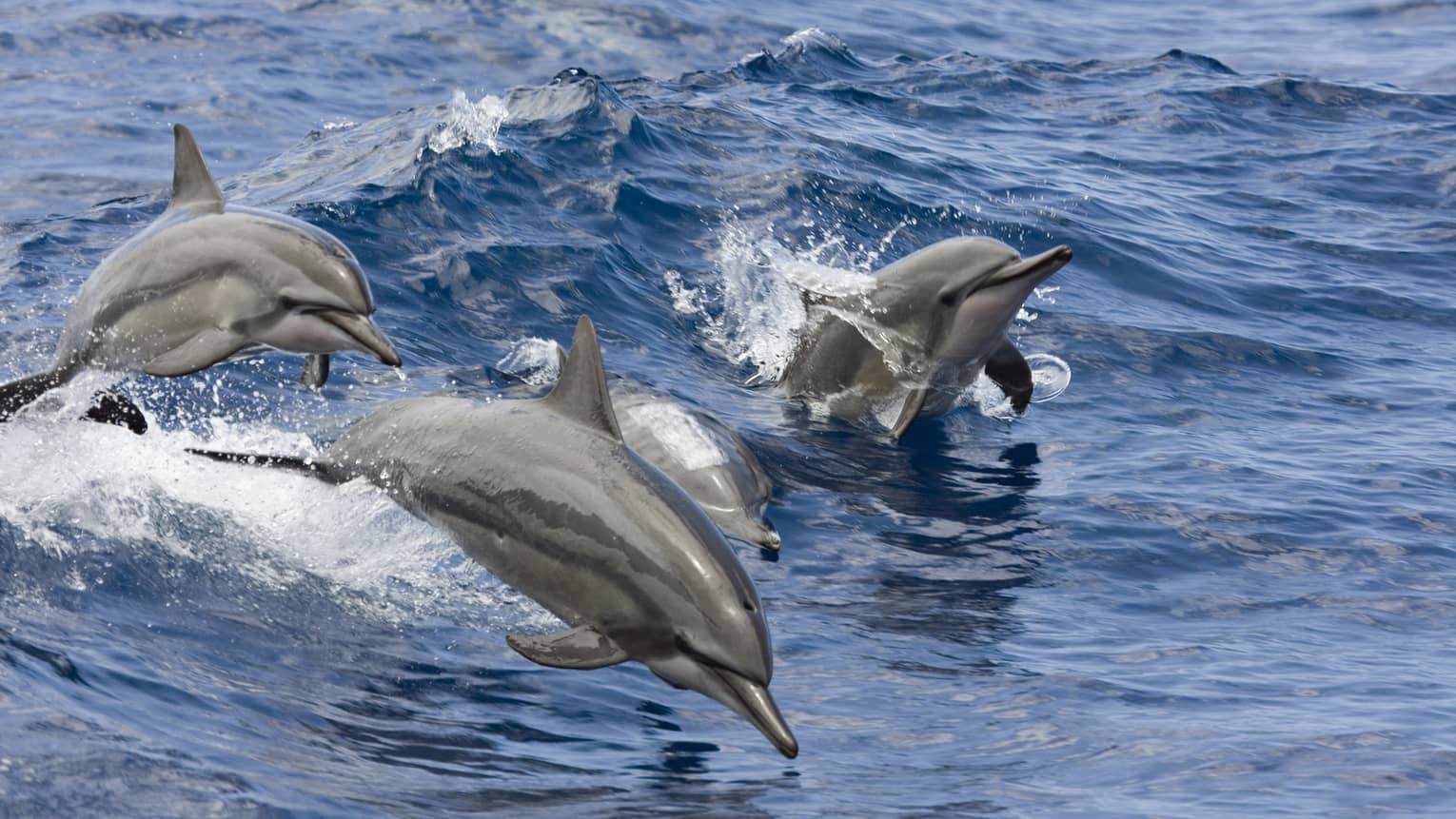 Three dolphins jump out of water from wave