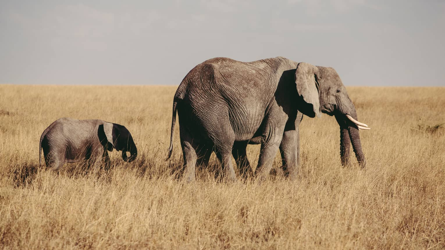 Elephant and baby walk through grass in field