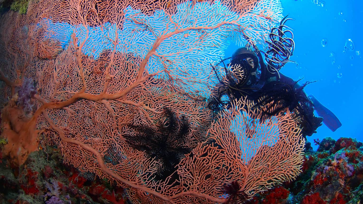Scuba diver behind large, colourful coral in lagoon