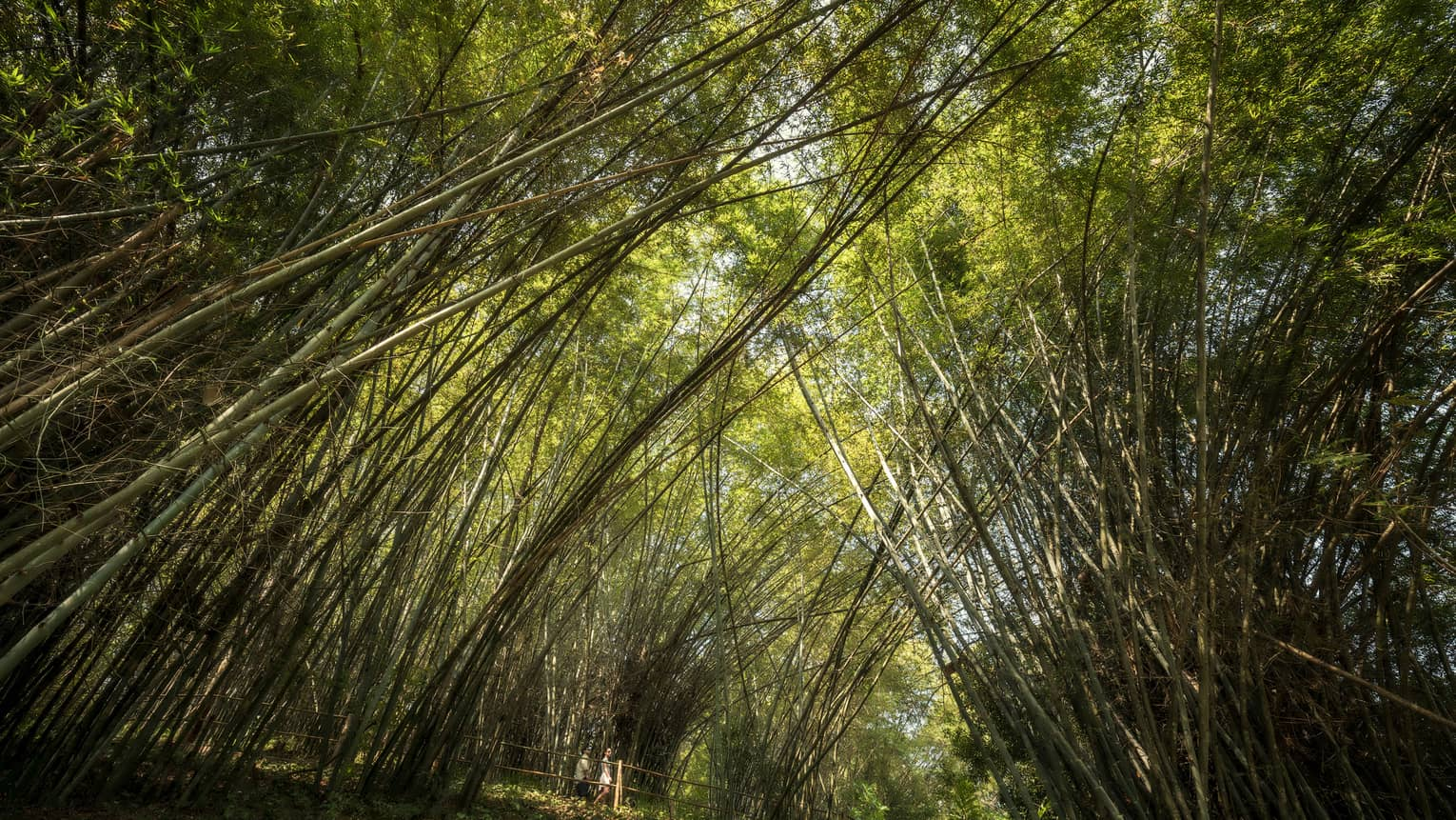 Two people walk under tall bamboo tree canopy in forest
