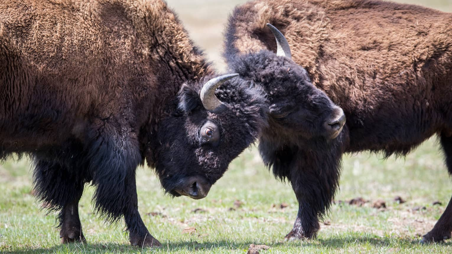 Close-up of two bison locking horns on green pasture