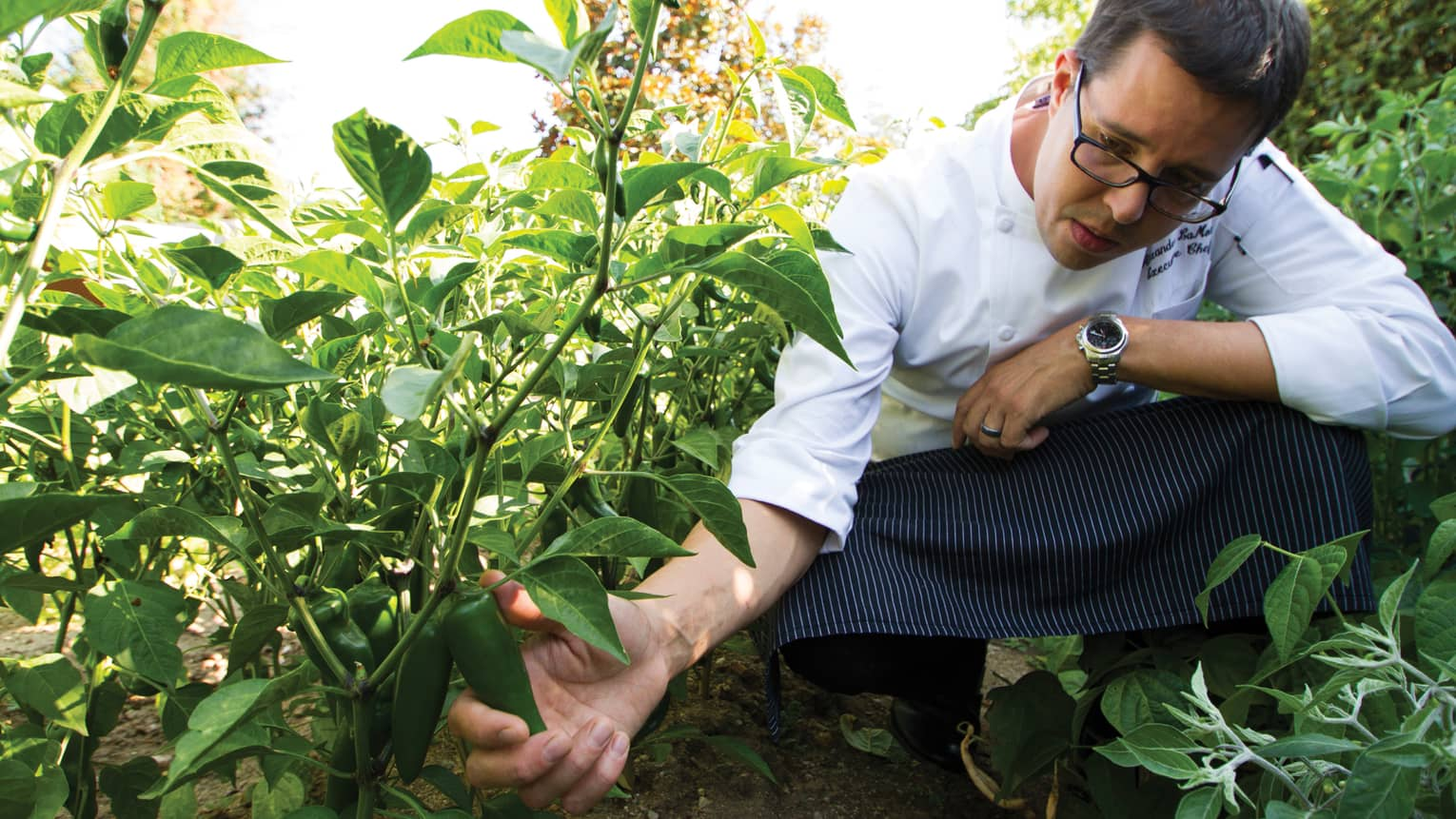 Chef kneels in garden beside tall plant, holds green pepper on vine
