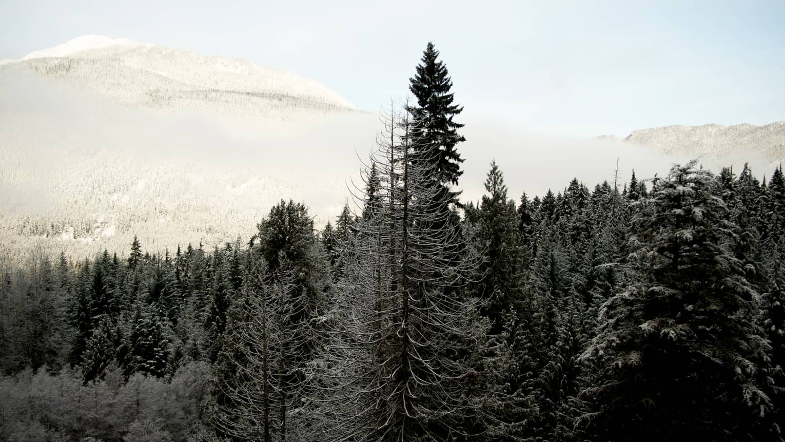 Cedar trees with snow capped mountains in background