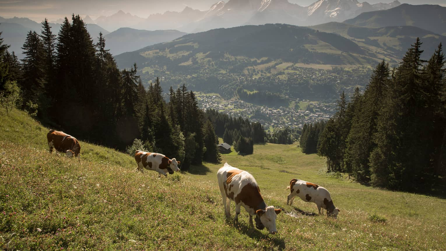 Cows graze in green field high up in mountains