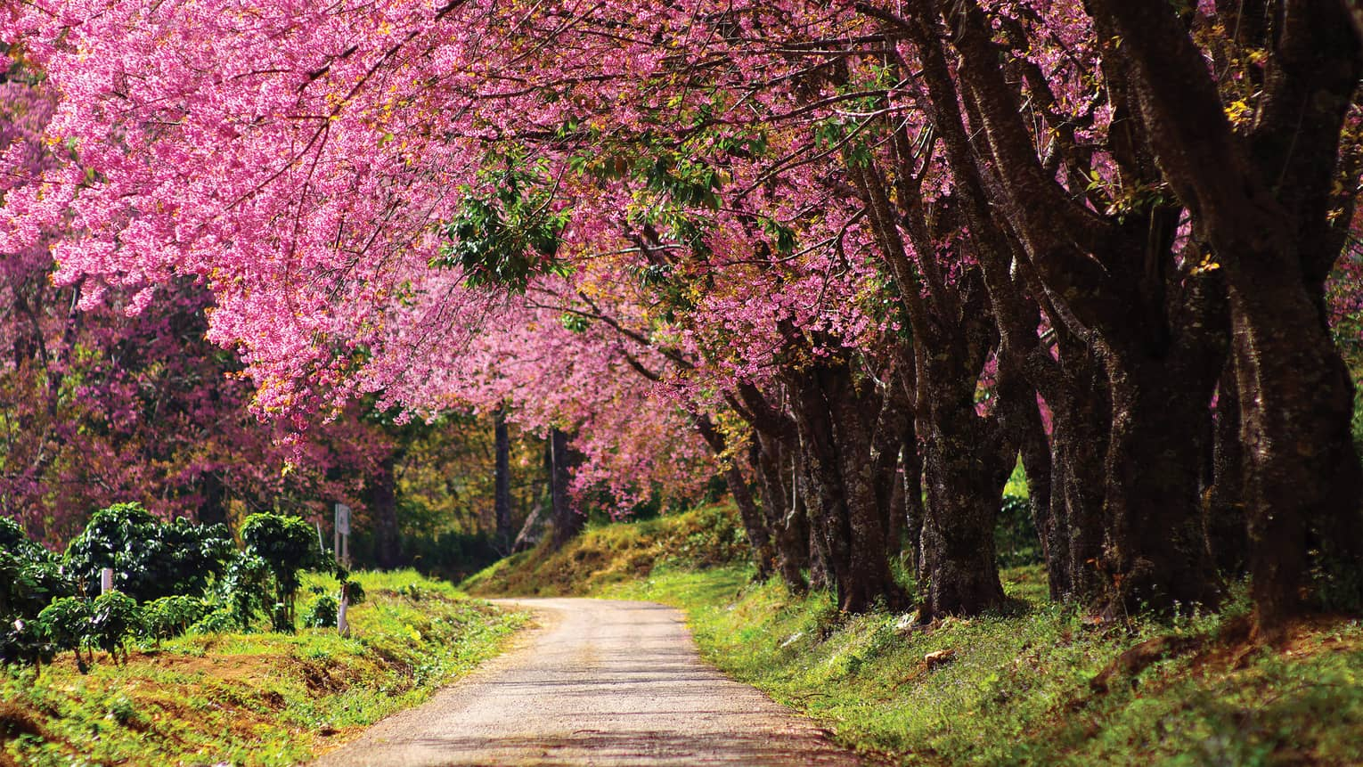 Nature trail under row of large trees with canopy of pink blossoms