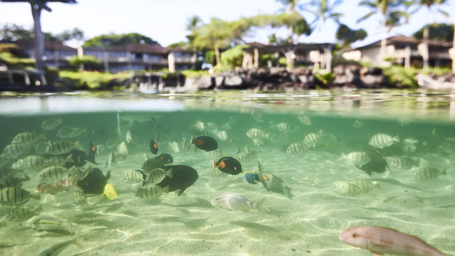 Schools of fish swim in the shallow waters near Four Seasons Resort Hualalai