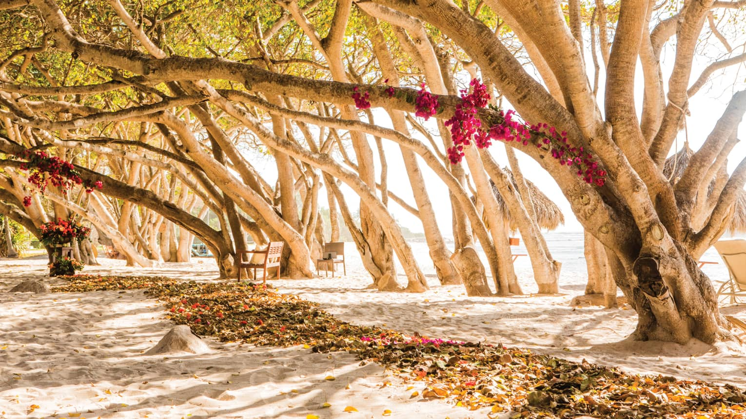 Row of trees, branches with pink flowers stretch over beach trail