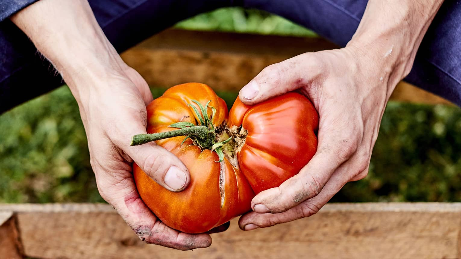 close up of hands holding two large red tomatoes over a wooden crate of tomatoes