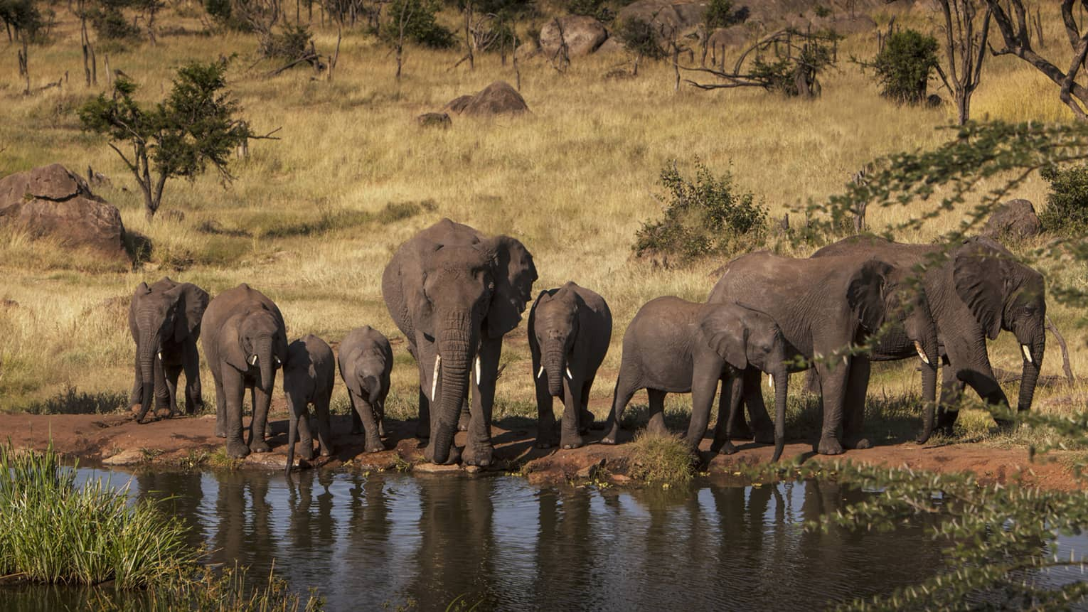 A pack of elephants drinking from a watering hole