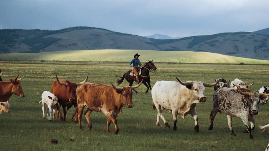 Mountain ranch field where man in cowboy hat rides horse by herd of horned cows