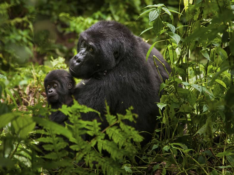 Follow in the Footsteps of Rwanda's Mountain Gorillas