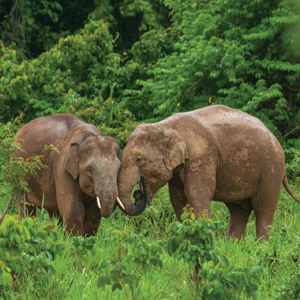 Rehabilitating Abused Elephants