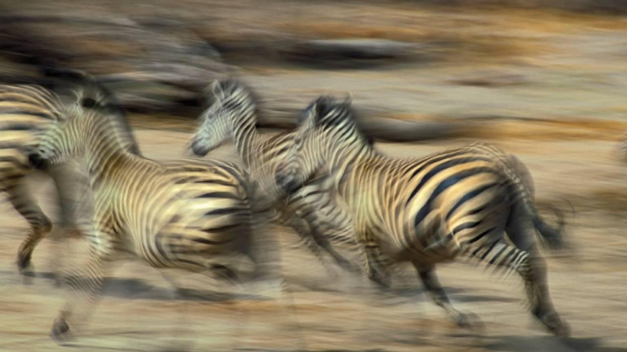 The Serengeti Plains great migration