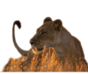 See Wild Lions During Your African Serengeti Safari